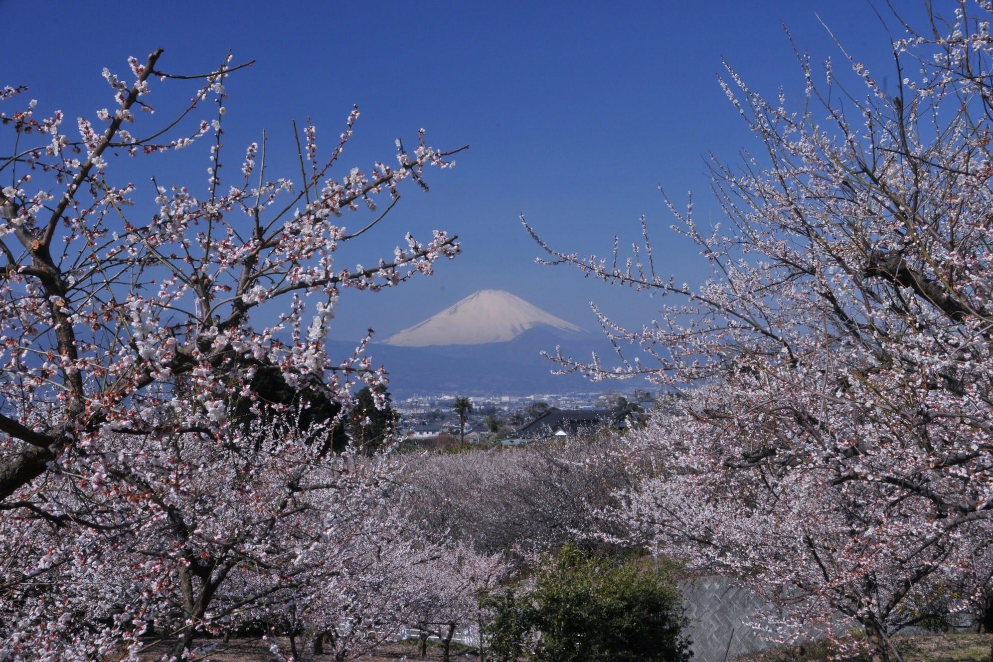 從花、高空、海水的輝映中望見富士山真面目