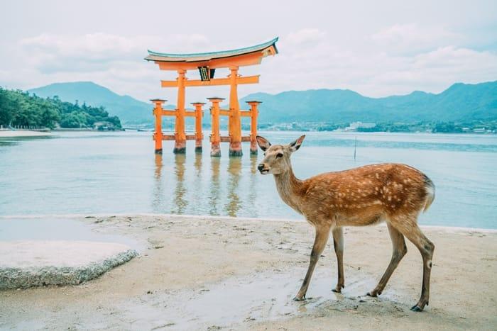【廣島】神與鹿的應許之島─宮島